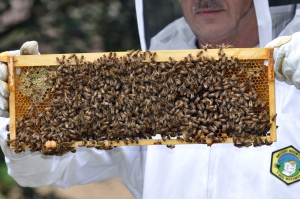 "Checking for queen cells (peanut-shaped cells at base of frame) before ""splitting"" a hive to discourage  swarming"