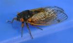 cicada on blue