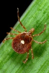 Lone star tick James Gathany: CDC