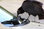 black vulture swiping windshield blade