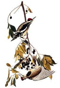 Yellow-bellied sapsucker by John James Audubon: Birds of America
