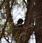 Red-shouldered hawk on nest