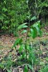 My wee Restoration Chestnut