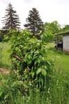 American chestnut tree