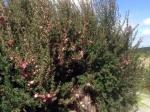 Tea tree (Manuka)