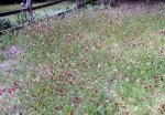 crimson clover is taller for a wilder-look