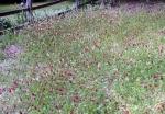 crimson clover is taller for a wilder-look