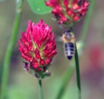 honey bee visiting red clover