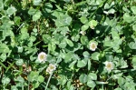 Dutch white clover crouches low
