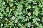 Dutch white clover crouches low