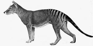 Thylacine-a portrait